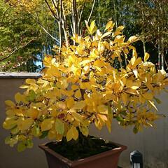 盆栽園/日本庭園/盆栽 日本庭園の盆栽園の盆栽たちです 紅葉がだ…(2枚目)