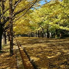 撮影ポイント/銀杏並木/いつもの公園/秋/風景 暖かい日差しに誘われていつもの公園へ🚲💨…(6枚目)