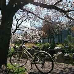 遊歩道/カフェ/お花見/桜/風景 毎年🌸を見て回る場所のひとつを🌸桜の様子…(4枚目)