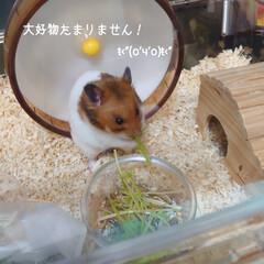 """ハムスター/福くん/好物/完食/水菜 (o。・・。)oぉは~ʢ'•ﻌ•ʡ✩⃛""""…(1枚目)"""