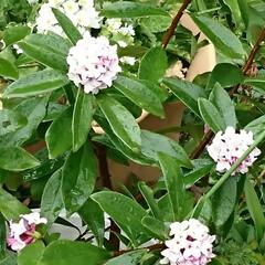 帰り道/香り/雨/蕾/木蓮/沈丁花 今日は一日冷たい雨でした 沈丁花が少し香…
