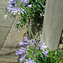 青い花/道端/アガパンサス お隣の家のアガパンサスの花が道路に向かっ…