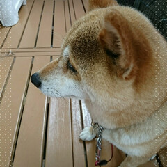 視線/支度/朝/柴犬 今朝はちゃんとした姿勢で朝ごはん食べ終わ…