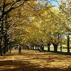 撮影ポイント/銀杏並木/いつもの公園/秋/風景 暖かい日差しに誘われていつもの公園へ🚲💨…(5枚目)