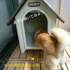 犬小屋/新居/小屋/犬/柴犬 もみじ家を買う(昔、こんな番組あったよう…(4枚目)