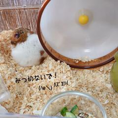 キュウリ/好物/ゴールデンハムスター/ハムスター/リミ友さん/梅 おはようございます𓂃☁︎ 昨夜の豪雨の後…(5枚目)