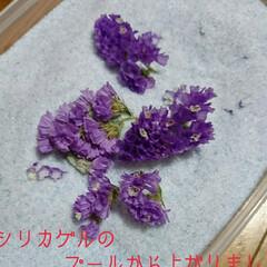 シリカゲル/フラワーボール/ドライ/紫陽花 切り花でいただいた紫陽花があまりにも大輪…(6枚目)