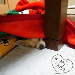 爆睡/二度寝/🐶ハル (。゚ω゚)ノグッモー おはようござい…
