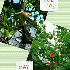 ザクロの実/公園/ザクロ 公園のザクロ。花から実になりつつあります…