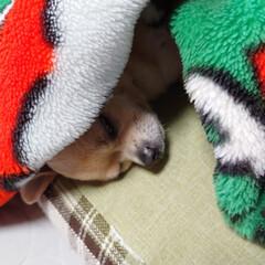 🐶ハル/毛布/寒い朝/居眠り/居場所/一年 今朝も冷えましたね((•﹏•๑)) 最近…(4枚目)
