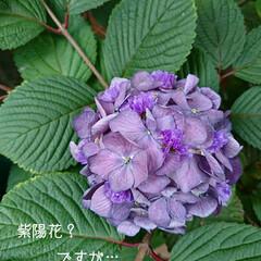 シリカゲル/フラワーボール/ドライ/紫陽花 切り花でいただいた紫陽花があまりにも大輪…(2枚目)