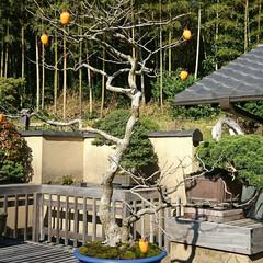 盆栽園/日本庭園/盆栽 日本庭園の盆栽園の盆栽たちです 紅葉がだ…(8枚目)