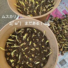 芽/ムスカリ/チューリップ/球根 野菜ではありません ムスカリの球根です🤗…(2枚目)