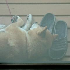枕/昼寝/柴犬 🌀台風接近で風が吹くなか、涼しいのか?雨…