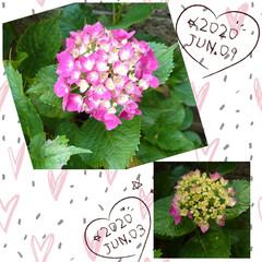 紫陽花/ブラックベリー/ミニ🍅/ハル こんにちは🌞 今日は🌡30℃超え(¯―¯…