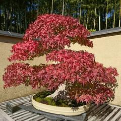 盆栽園/日本庭園/盆栽 日本庭園の盆栽園の盆栽たちです 紅葉がだ…