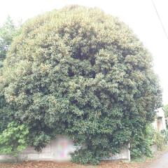 2018〜2021/ご近所/金木犀/放置/トトロの木? おはようございます さて!この🌳は何の木…(1枚目)