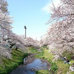 遊歩道/満開/満席/川辺/花見/桜吹雪/... えっ!?この間のup? ではありません🤗…(1枚目)