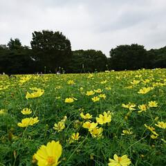 コスモスまつり/レモンブライト/昭和記念公園 公園内の花畑へ 品種 レモンブライト た…