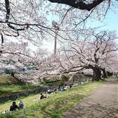 遊歩道/満開/満席/川辺/花見/桜吹雪/... えっ!?この間のup? ではありません🤗…(3枚目)