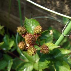収穫/サヤインゲン/ブラックベリー/紫陽花 おはようございます☀︎*.。 ささやかな…(3枚目)