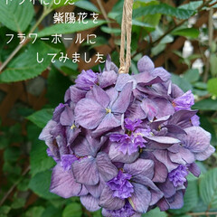 シリカゲル/フラワーボール/ドライ/紫陽花 切り花でいただいた紫陽花があまりにも大輪…(3枚目)