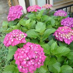 収穫/サヤインゲン/ブラックベリー/紫陽花 おはようございます☀︎*.。 ささやかな…(4枚目)