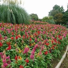 ケイトウ/ケイトウの花/昭和記念公園 本日の目的のケイトウの花 少し終わりかけ…