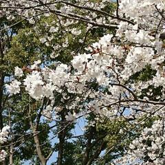 ネモフィラ/チューリップ/サクラ/いつもの公園/LIMIAおでかけ部/おでかけ/... 連続投稿ですみません🙇 花たよりをと思い…