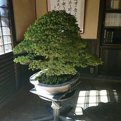 盆栽園/日本庭園/盆栽 日本庭園の盆栽園の盆栽たちです 紅葉がだ…(6枚目)