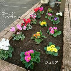ランチ/チューリップ/ガーデンシクラメン/ジュリア/ビオラ/パンジー/... 本日、休日返上して旦那さんの会社の花壇の…