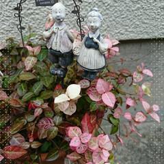 鉢植え/紅葉/秋 小さな鉢植えも🍁秋の訪れを感じます いつ…
