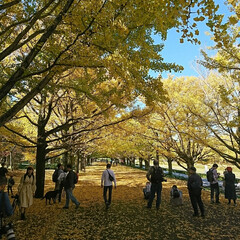 撮影ポイント/銀杏並木/いつもの公園/秋/風景 暖かい日差しに誘われていつもの公園へ🚲💨…(3枚目)