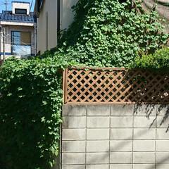 グリーンカーテン/ゴーヤ 表側(道路側)から見た🌿グリーンカーテン…(2枚目)