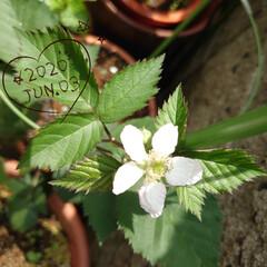 ブラックベリー/蕾/セダム/多肉植物/ウッドビーズ/スダレ 今朝咲いていたブラックベリーの白い花ꕤ⠜…