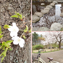 花見/桜/カフェ こんばんは🌙今日は予報どおりの曇り空そし…(6枚目)