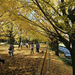 撮影ポイント/銀杏並木/いつもの公園/秋/風景 暖かい日差しに誘われていつもの公園へ🚲💨…(4枚目)