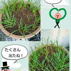 発芽/球根/ムスカリ 先日植えた球根の芽が出ました🙅  1枚目…