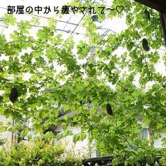 ゴーヤ/グリーンカーテン/臨戦態勢/ハル こんにちは(*´꒳`*)/ 久しぶりの投…(3枚目)