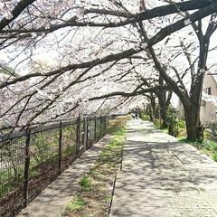 遊歩道/満開/満席/川辺/花見/桜吹雪/... えっ!?この間のup? ではありません🤗…(6枚目)