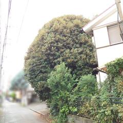 2018〜2021/ご近所/金木犀/放置/トトロの木? おはようございます さて!この🌳は何の木…(2枚目)