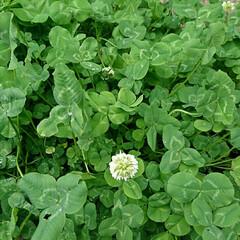 ガーデン/しろつめぐさ/クローバー/グリーン やっと花が咲き始めました🎶 本葉になった…