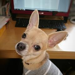 パソコン/ハル/甘えん坊/ペット/犬/おやすみショット 今日は寒さが戻り🐶ハルは午前中コタツムリ…(1枚目)