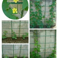 家庭菜園/緑のカーテン/グリーンカーテン/ゴーヤー 🌱ゴーヤーの苗を植えてから早一ヶ月 今朝…