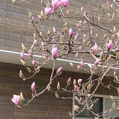 木蓮/蕾/ムスカリ/ハル 今日は暖かくなりそうです🌞 草花も蕾が出…