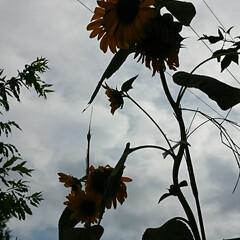中止/花火大会/台風 🌀台風12号が近づいているので西日も雲に…