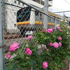 満開/綺麗/毎年/線路脇/バラ 今年も満開のバラが綺麗に咲いていました …