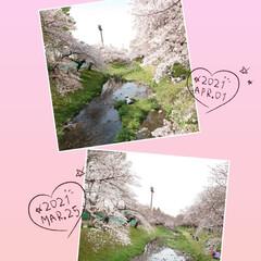 4月1日/ケーキ/アイスクリーム/満開/サクラ/桜 今日から4月(๑˙o˙๑)あっという間に…(4枚目)
