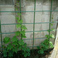 家庭菜園/グリーンカーテン/ゴーヤ ゴーヤ、あれから二週間弱、ここまで育ちま…(1枚目)