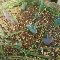 蕾/春蘭/チューリップ 昨年 秋に植え付けをした🌷の芽が顔を出し…
